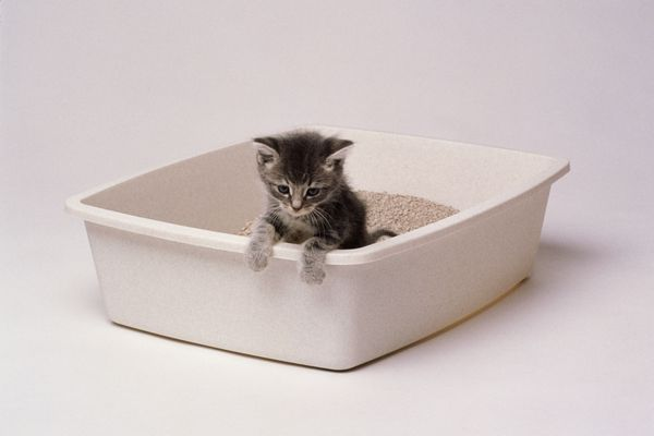 Grey tabby kitten in a litter box with white background