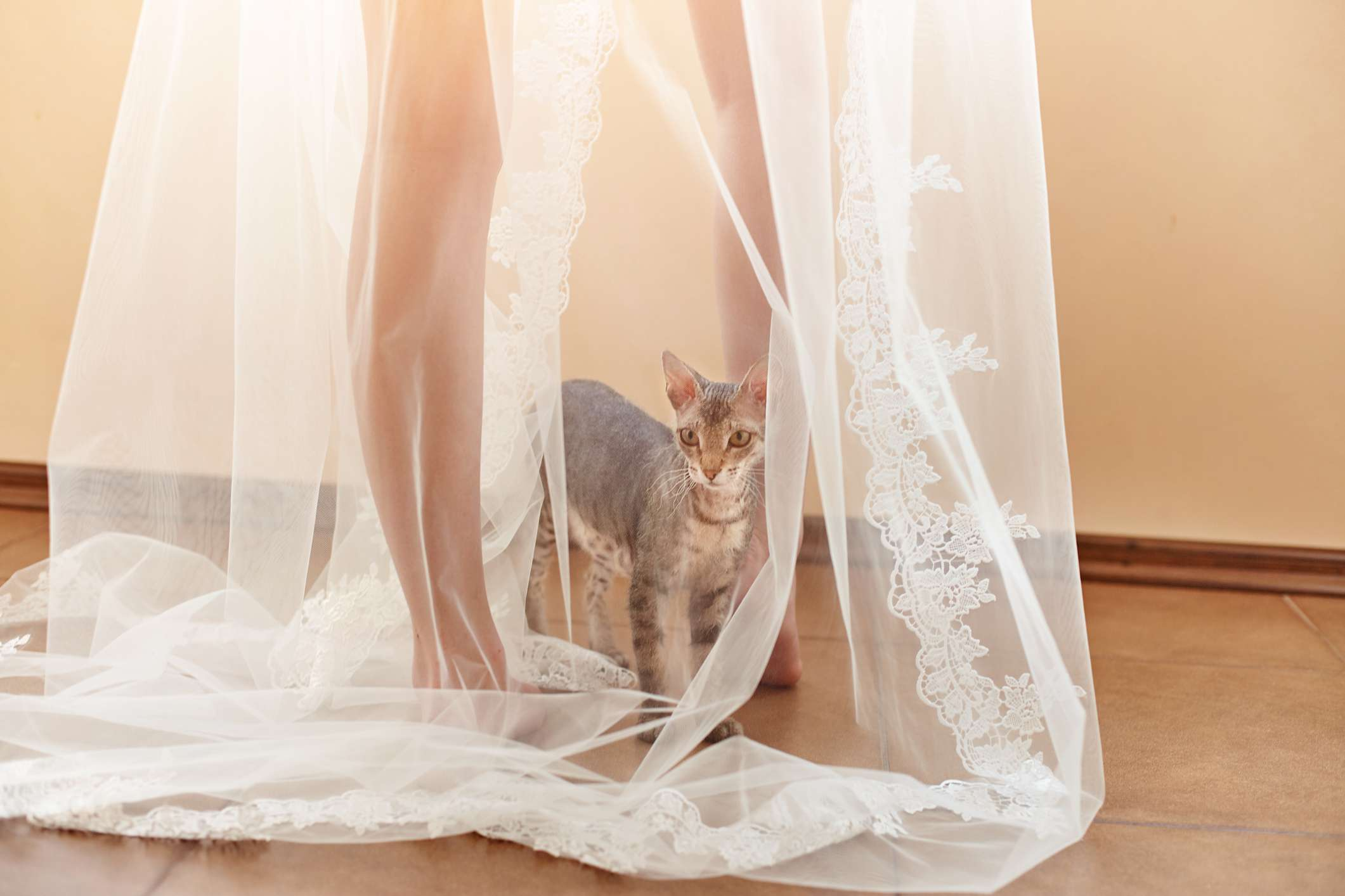 A small Minskin cat at a woman's feet underneath a sheer dress.