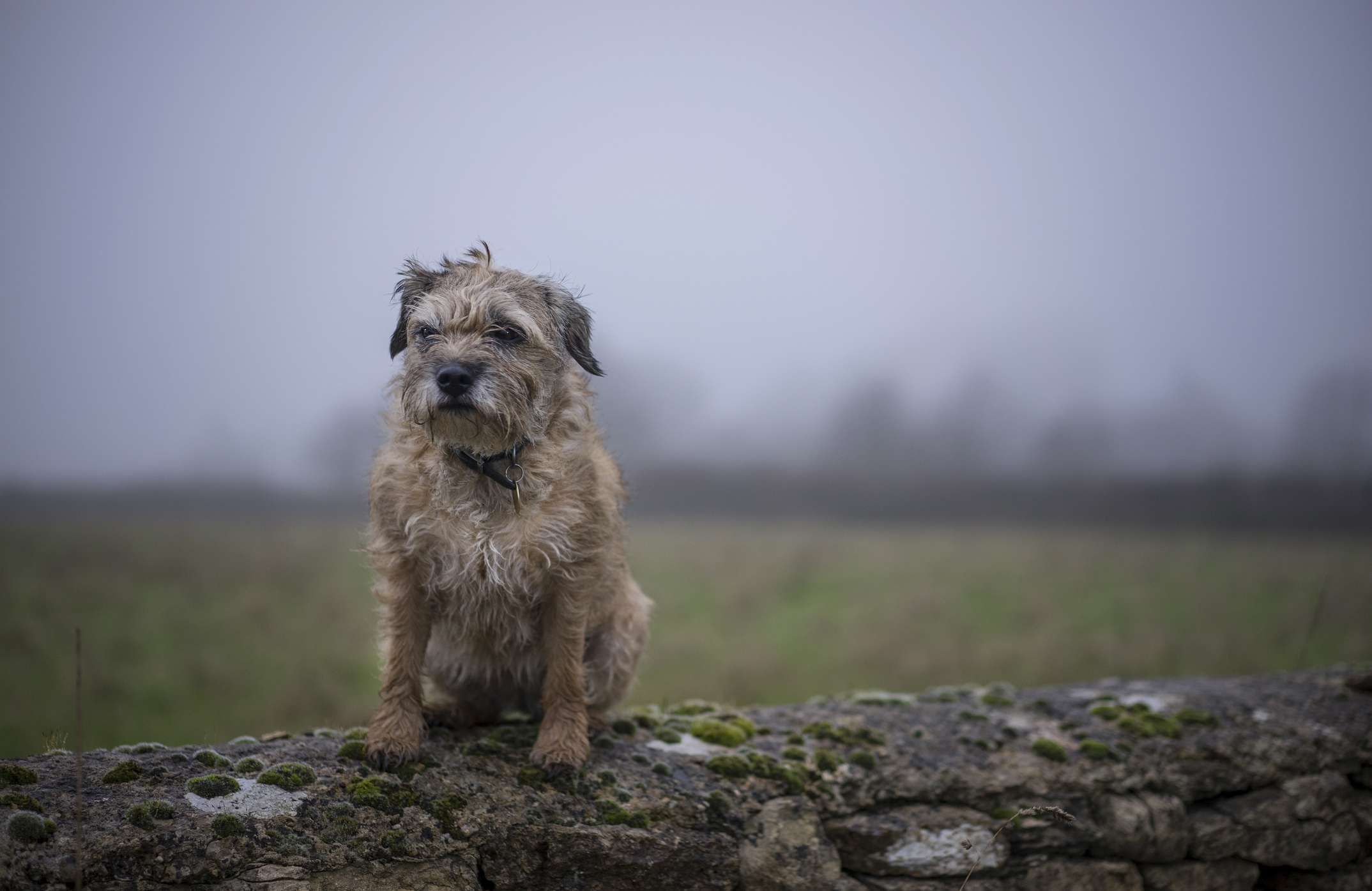 Border Terrier sitting on a wall with a grey sky in the background