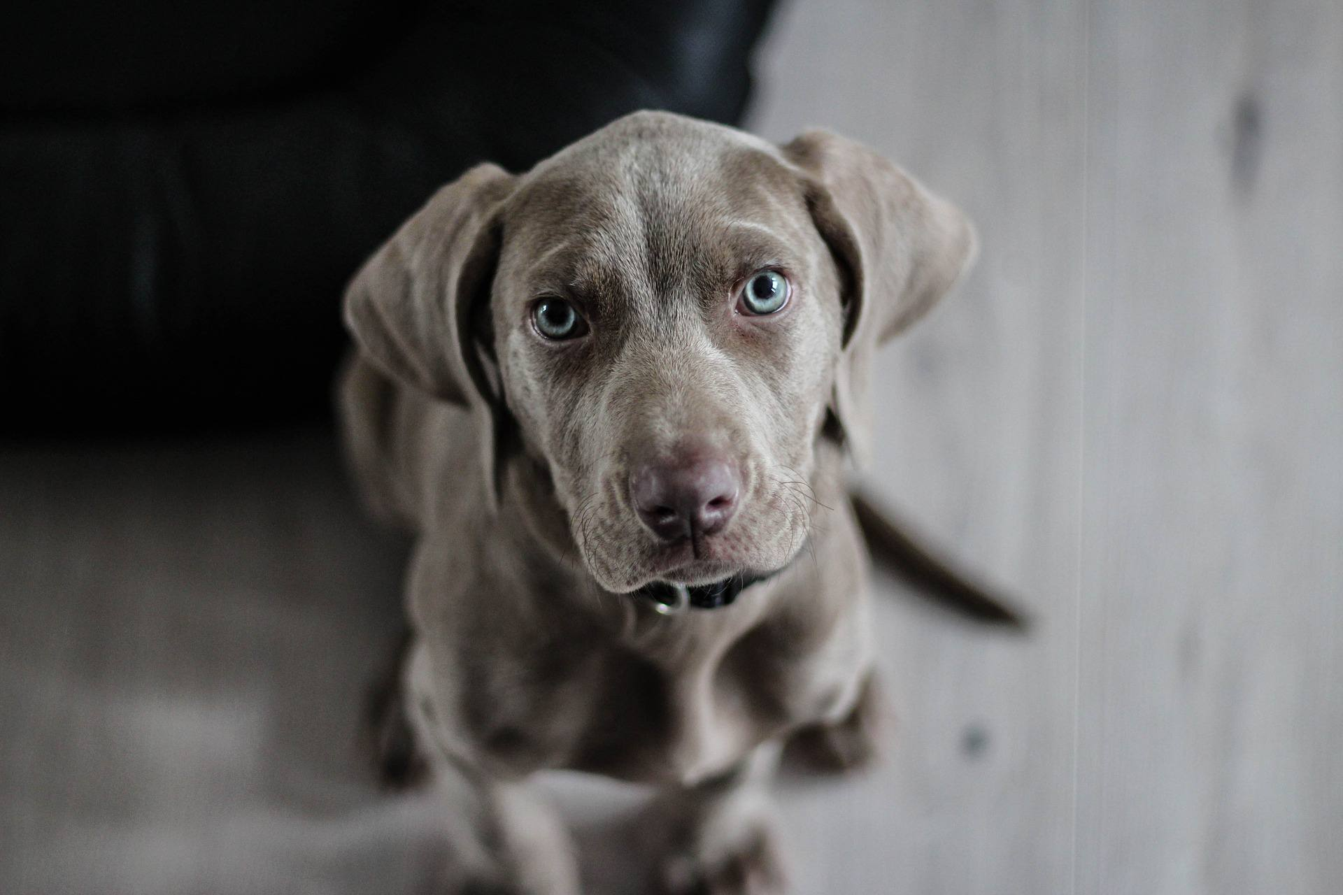A Weimaraner puppy looking up at the camera.