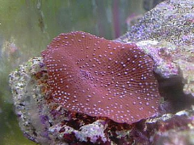 Spotted Red Mushroom Coral (Discosoma sp.)