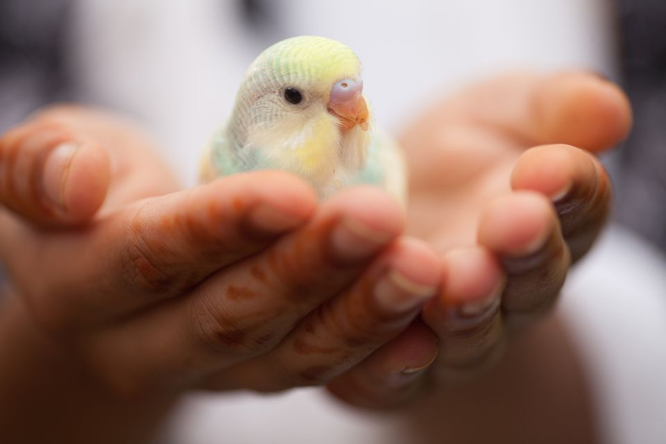 Portrait of parakeet in hands