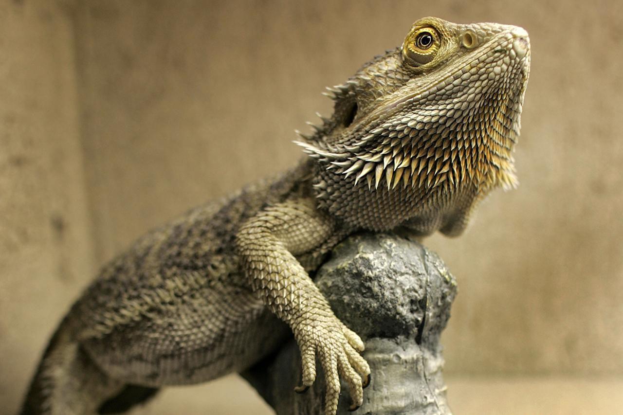 bearded lizard dragon - HD1280×853