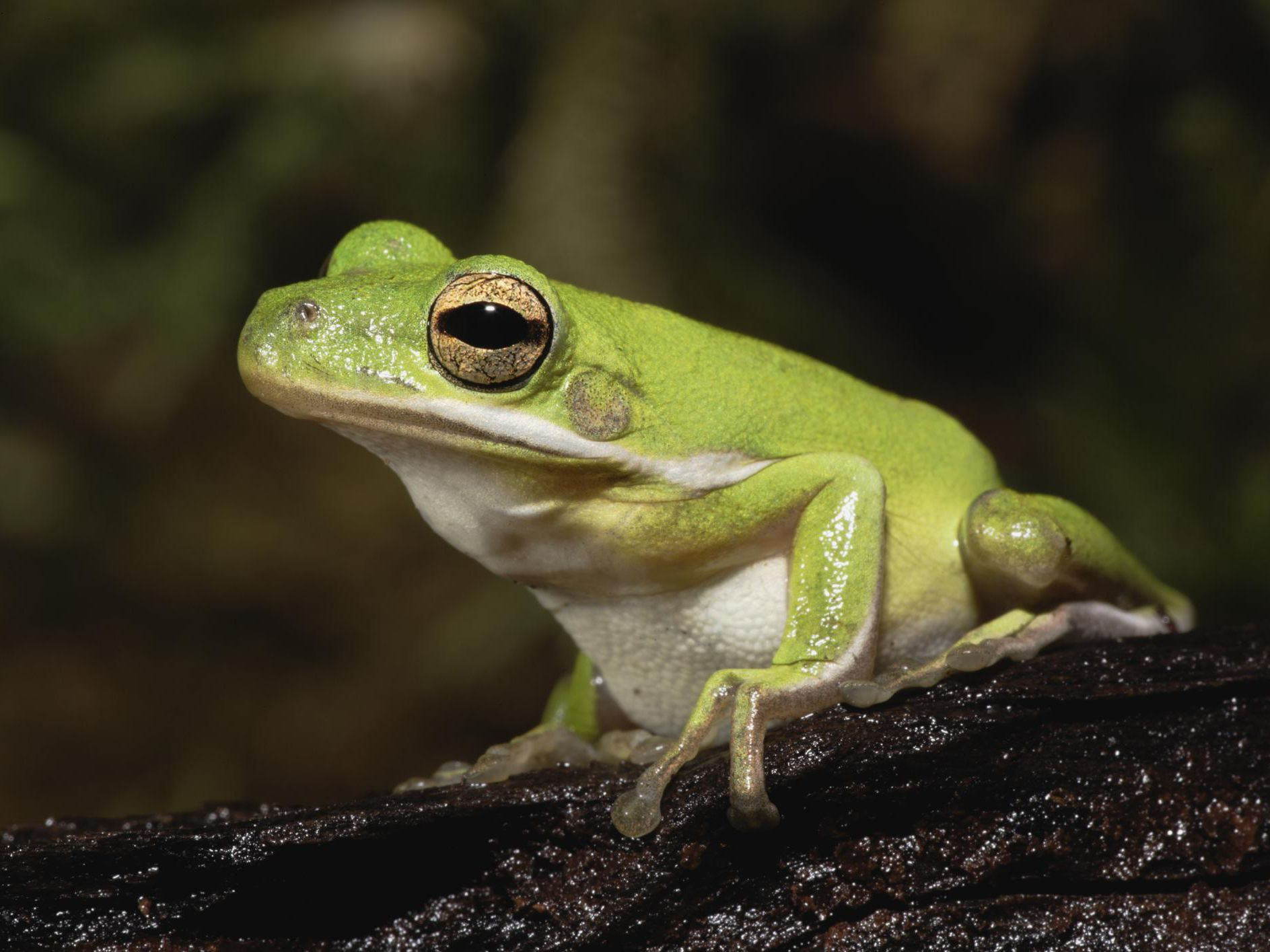 A Guide To Caring For American Green Tree Frogs As Pets
