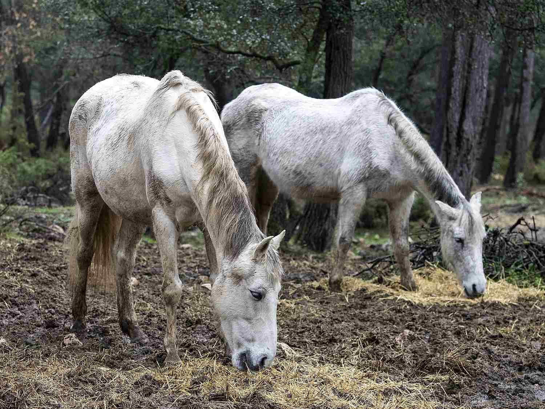 Dos caballos mayores con espaldas huecas