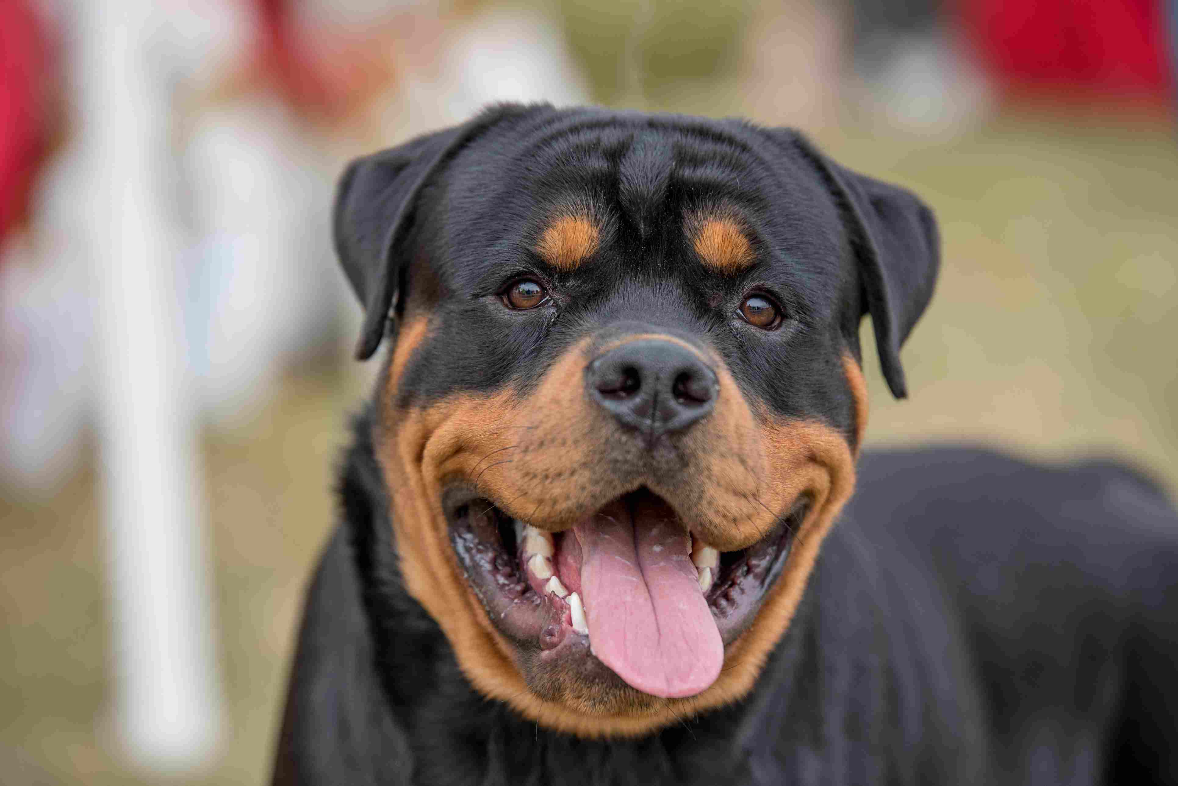 Headshot Of Rottweiler