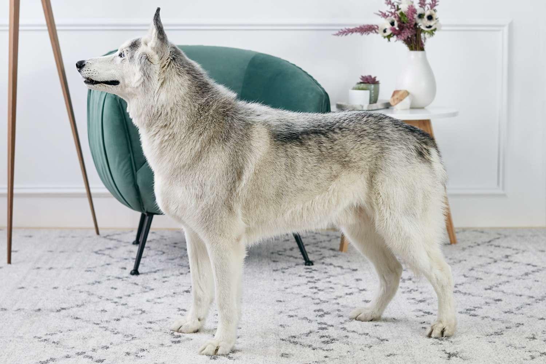 perfil lateral de un husky siberiano