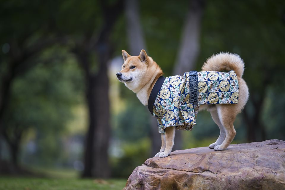 Shiba Inu on a rock wearing a Kimono