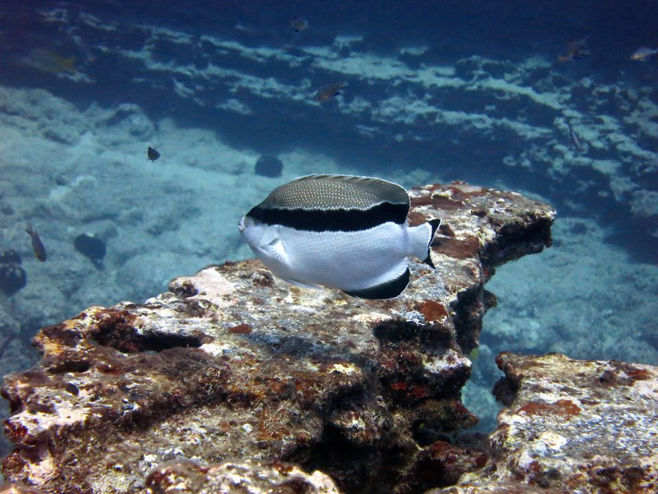 Black & White Bandit Angelfish