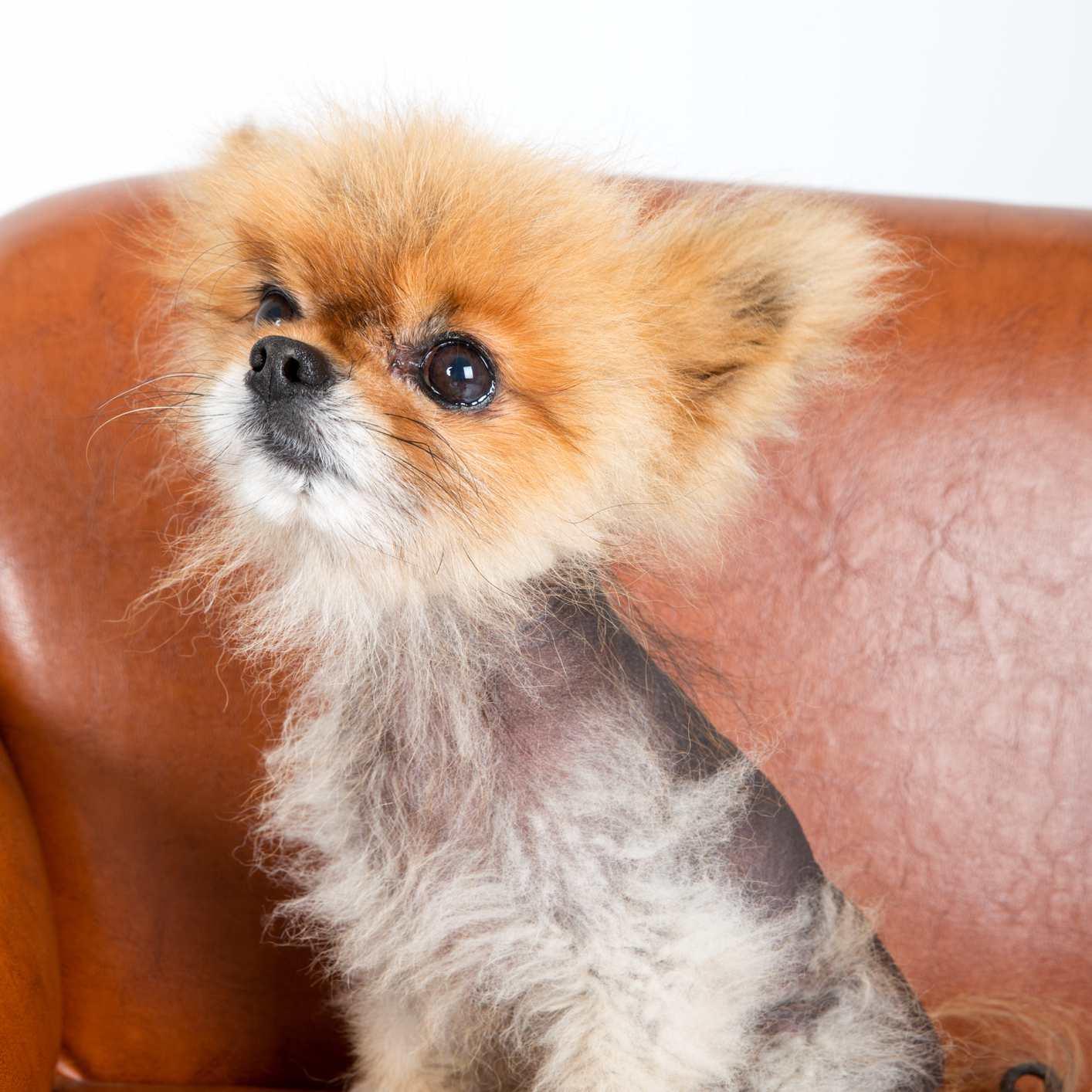 Pomeranian with alopecia