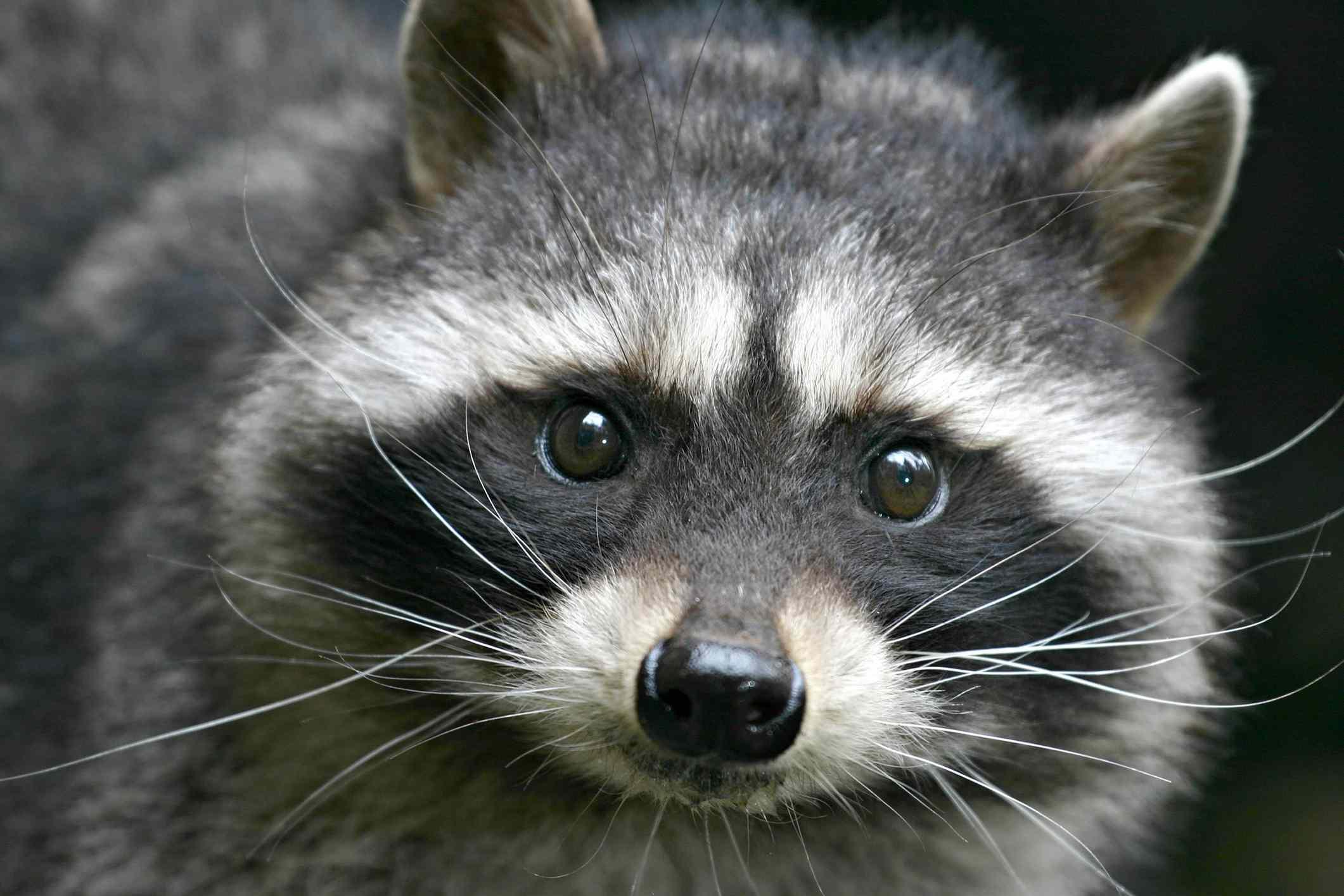 Raccoon looking directly ahead.
