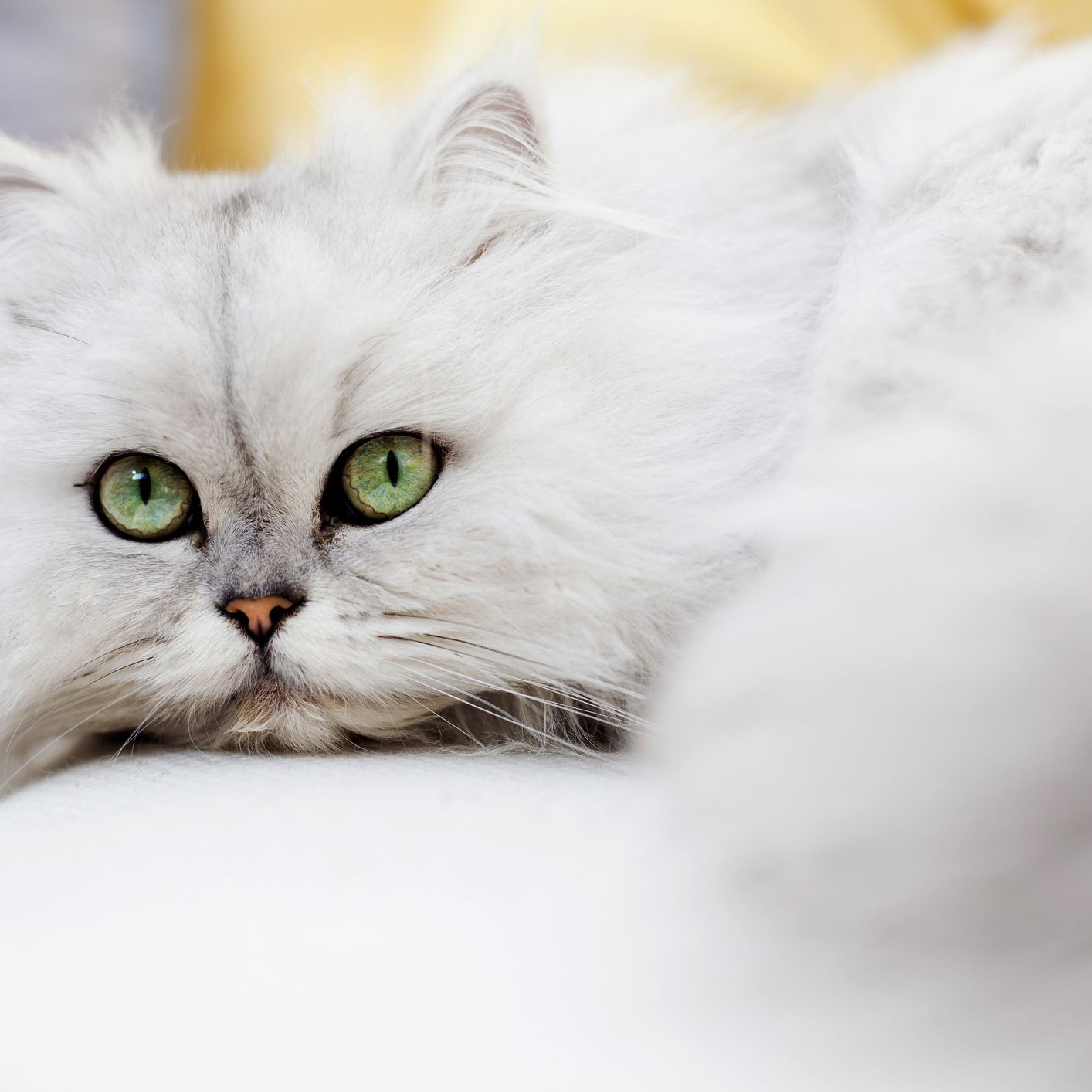 9 Cat Breeds From Asia