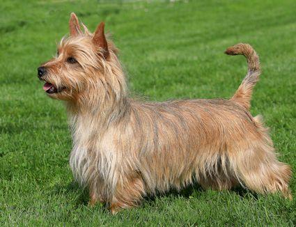 Side shot of an Australian Terrier