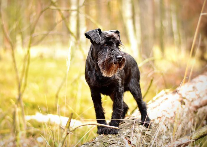 Smartest Dog Breeds — Miniature Schnauzer