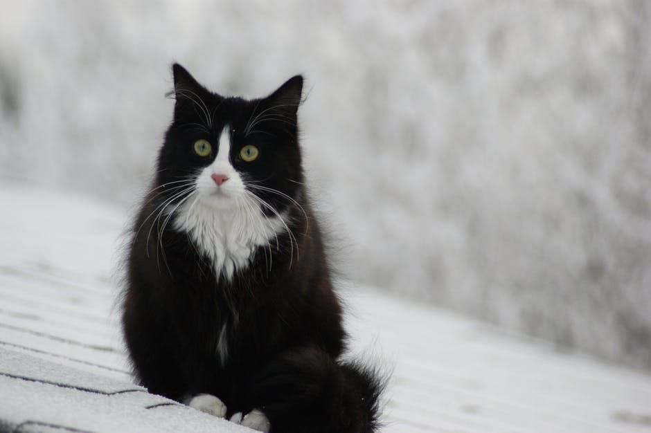 A black and white Norwegian Forest cat in snow.