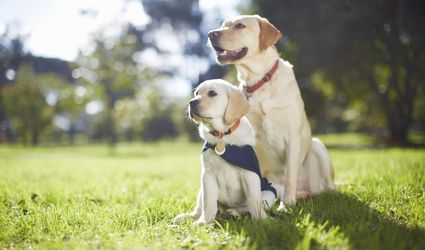 Two guide dogs at dog training