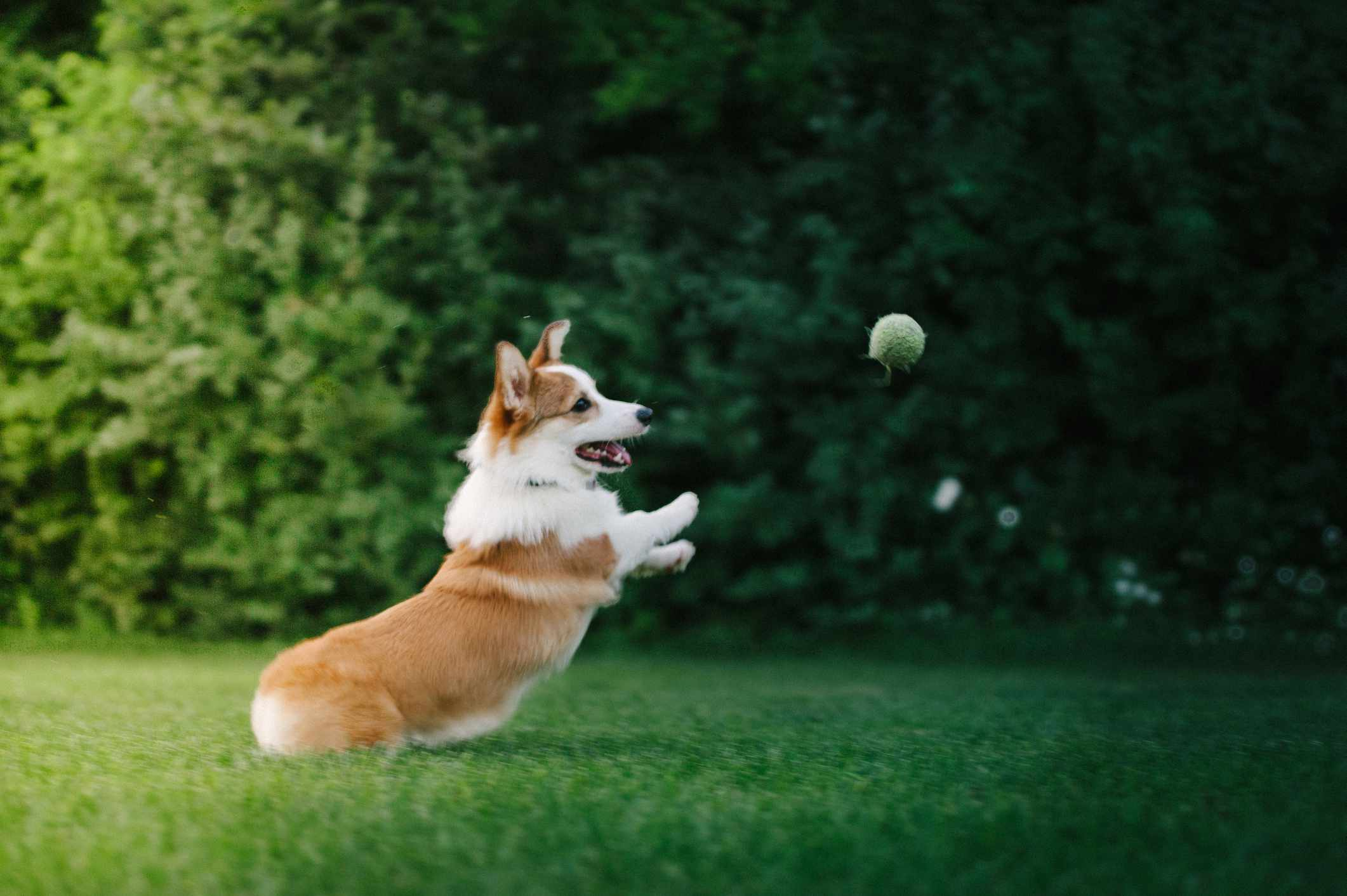 A brown and white corgi dog jumping in the air to catch a tennis ball.