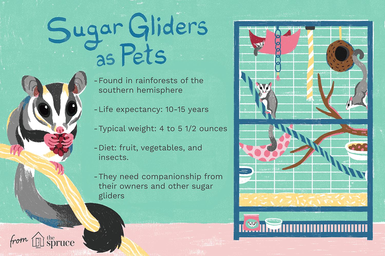 Sugar glider illustration