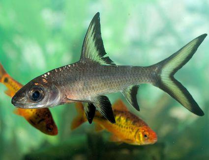 Balantiocheilus melanopterus - Bala Shark in a tank
