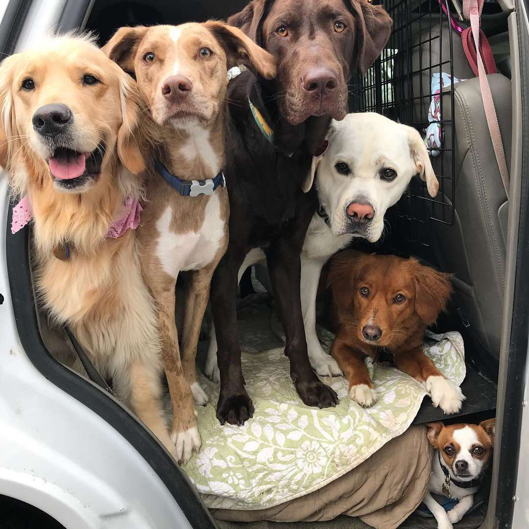 Group of dogs in the back seat of a car
