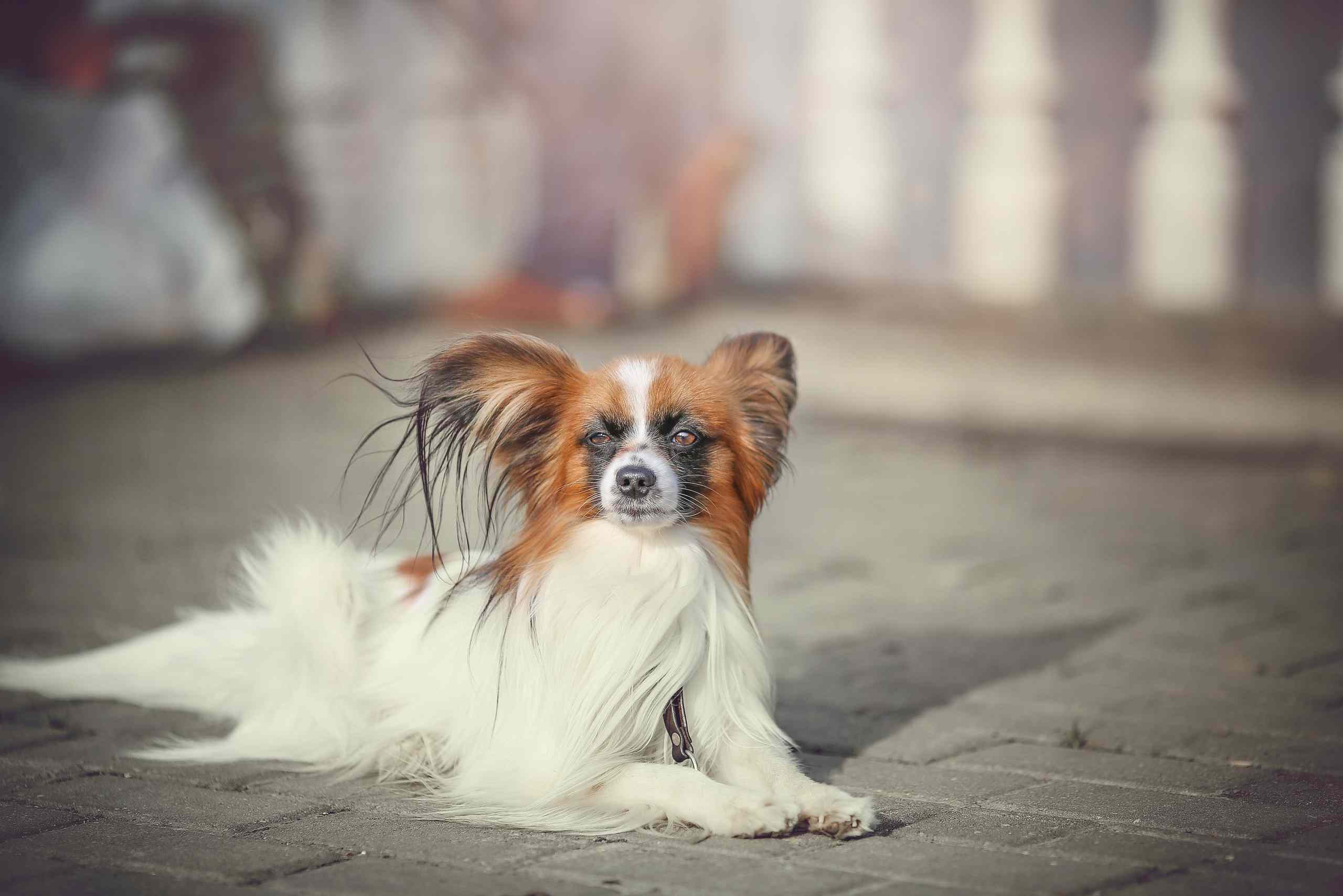 A Papillon dog sitting on the ground in the wind.