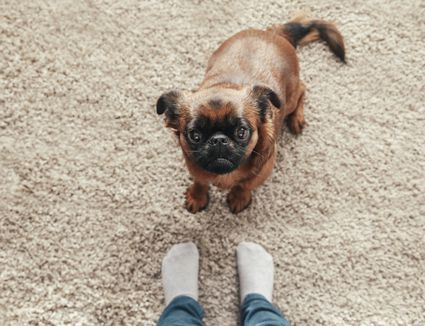 A brussels griffon looking up at his owner in jeans and socks.