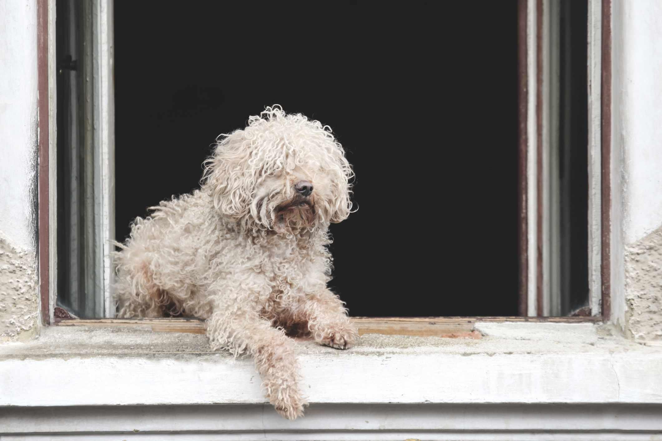 White puli dog sitting