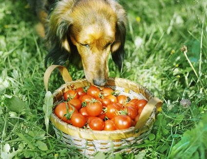 dog with basket of tomatoes