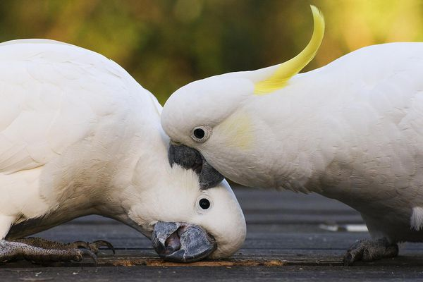Sulphur-crested Cockatoos fighting, Dandenong Ranges, Victoria, Australia
