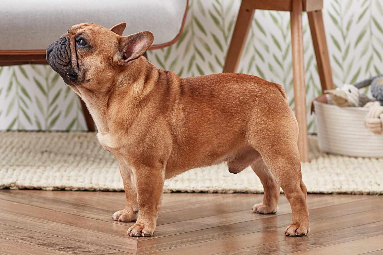 perfil lateral de un bulldog francés