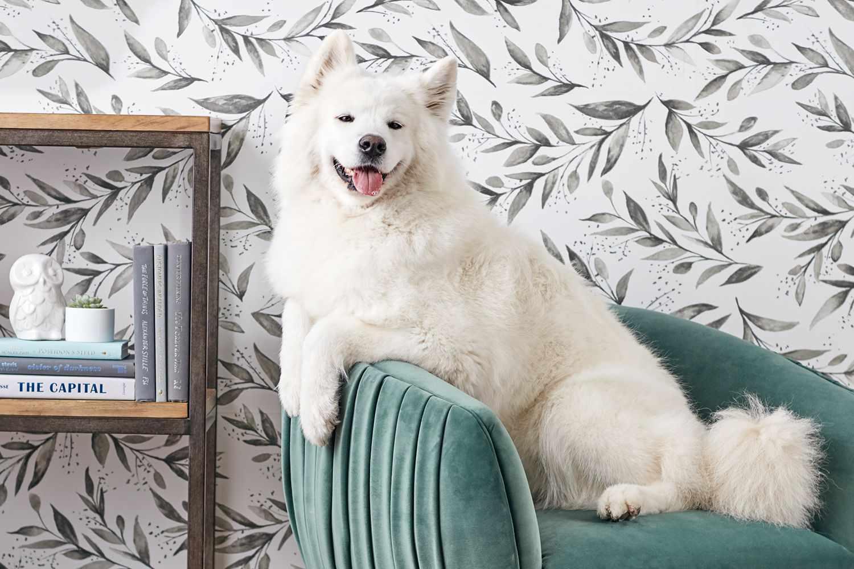 Samoyed dog sitting on green velvet chair