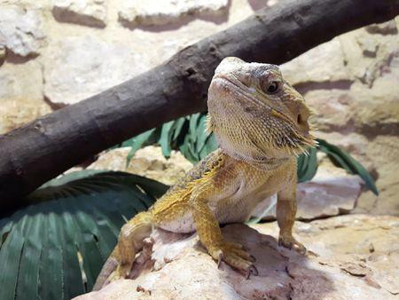 Bearded Dragon Habitat Lighting