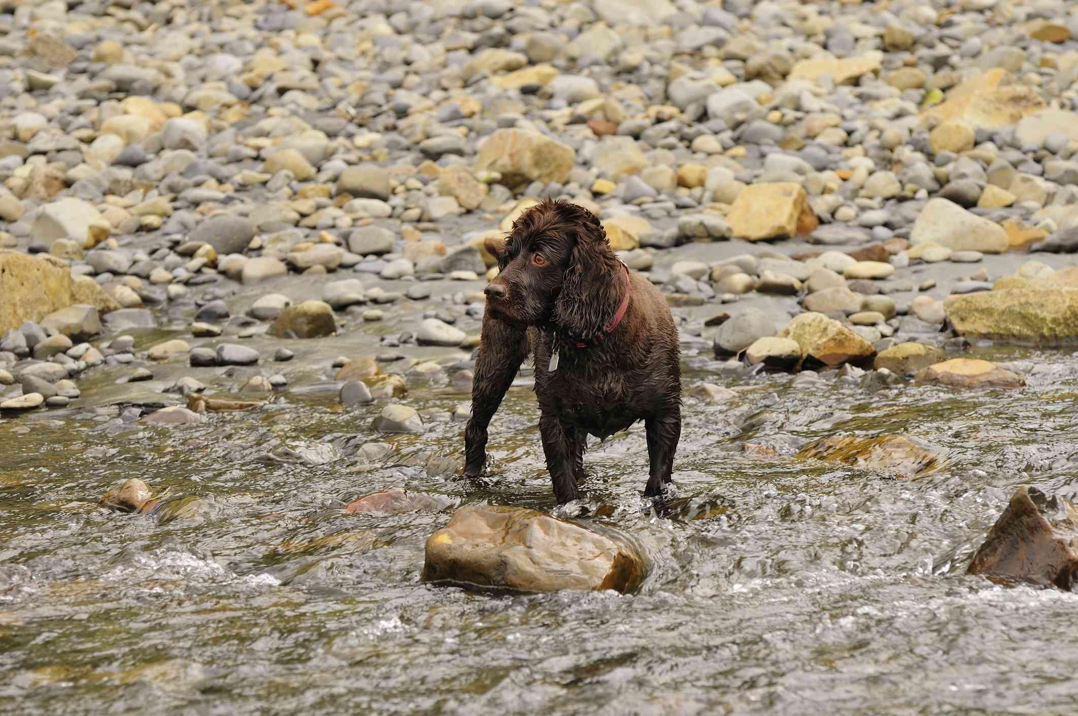 Boykin Spaniel standing in stream all wet.