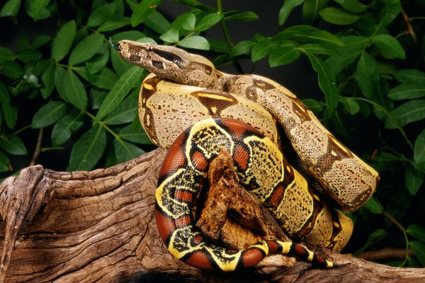 Red tail boa on a branch with leaves in the background