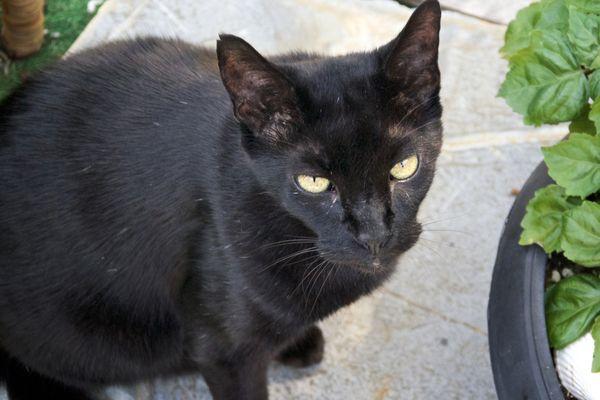 Havana Brown cat