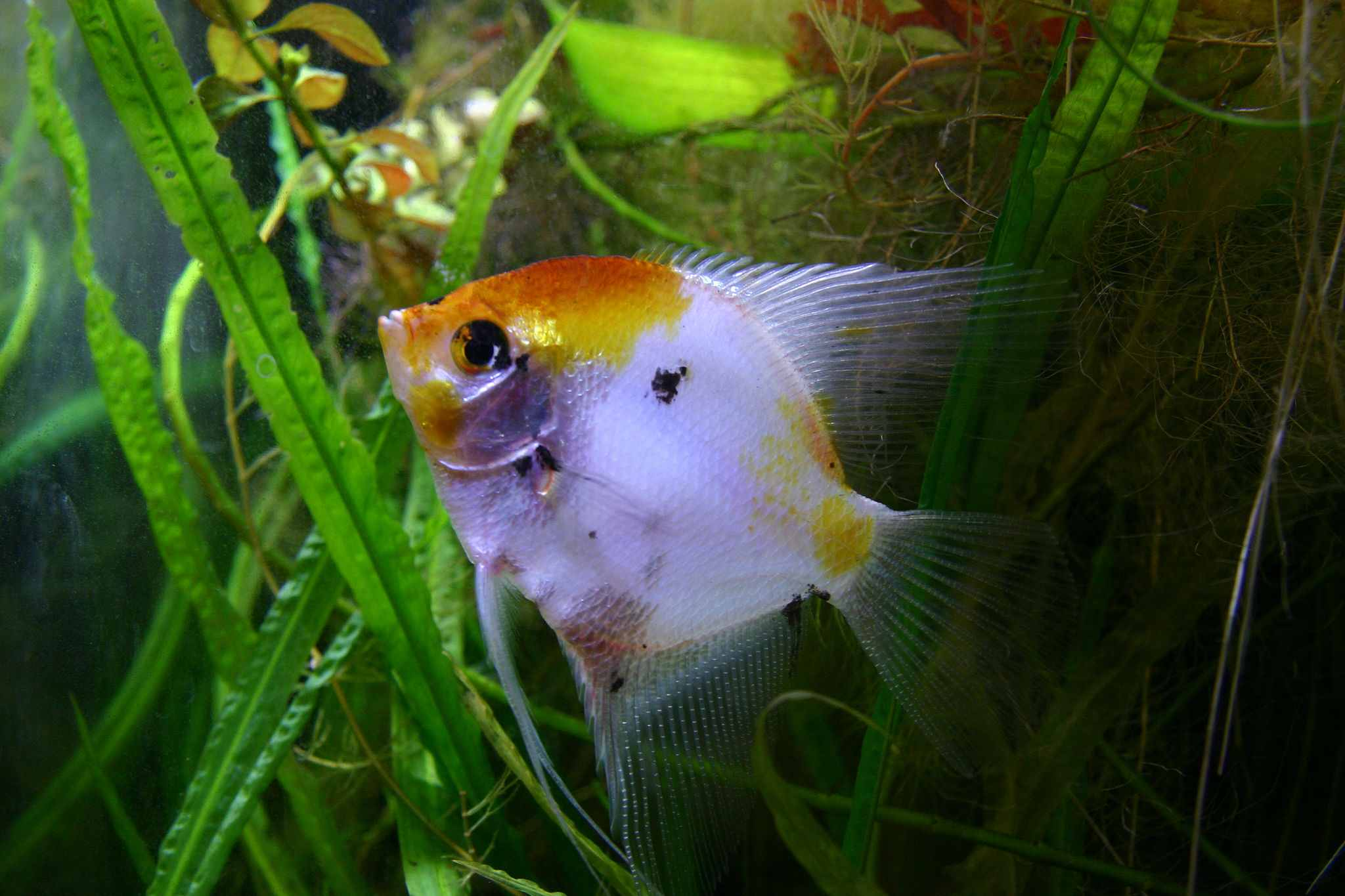 11 Types of Angelfish Color Variations
