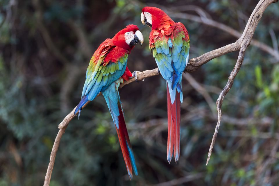Pair of red-and-green macaws interacting together.