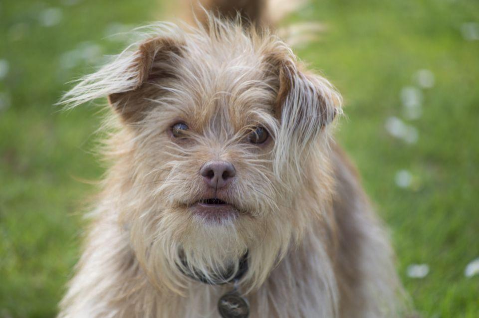 Perro Terrier al aire libre