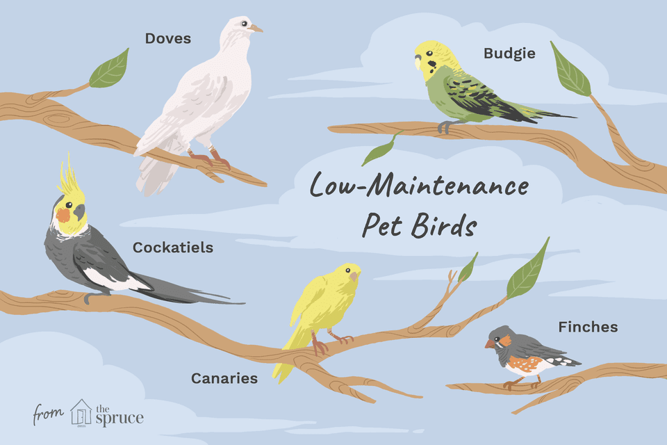 Low-maintenance pet birds species