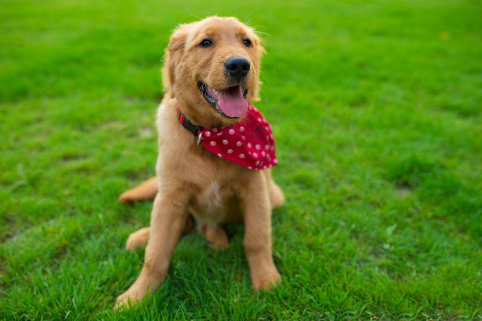 cachorro con un pañuelo rojo en un campo de hierba