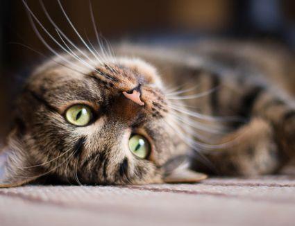 cat laying down looking at camera