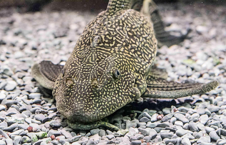 Plecostomus on gravel bottom