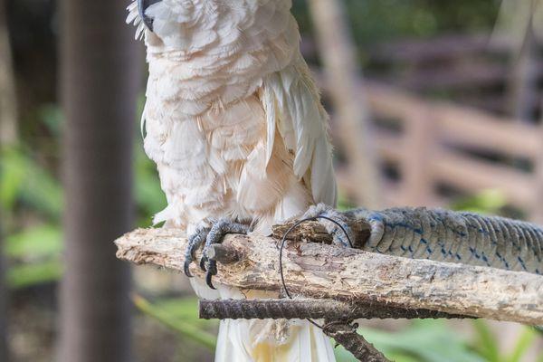 Moluccan cockatoo, as seen in the Bahamas.