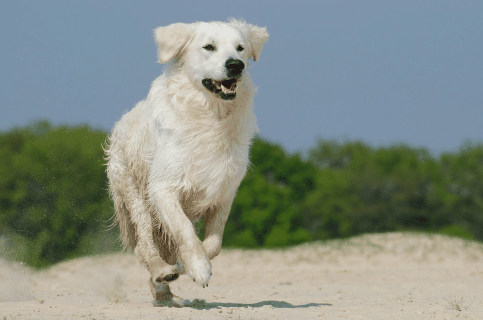 A Great Pyrenees running on a beach.