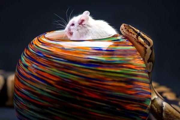 A snake ready to devour a mouse