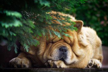 Chow chow sleeping