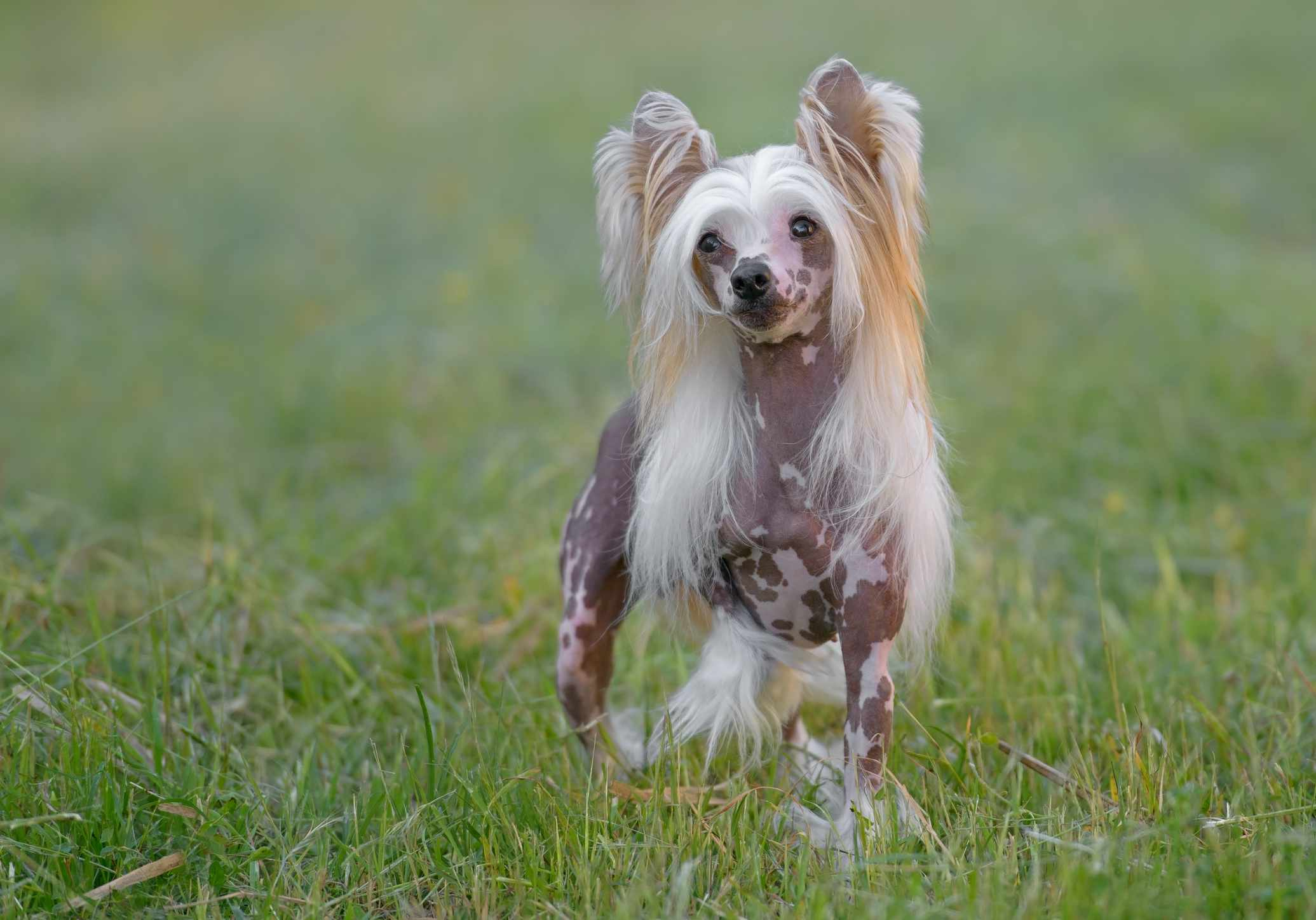 A Chinese Crested dog outdoors.