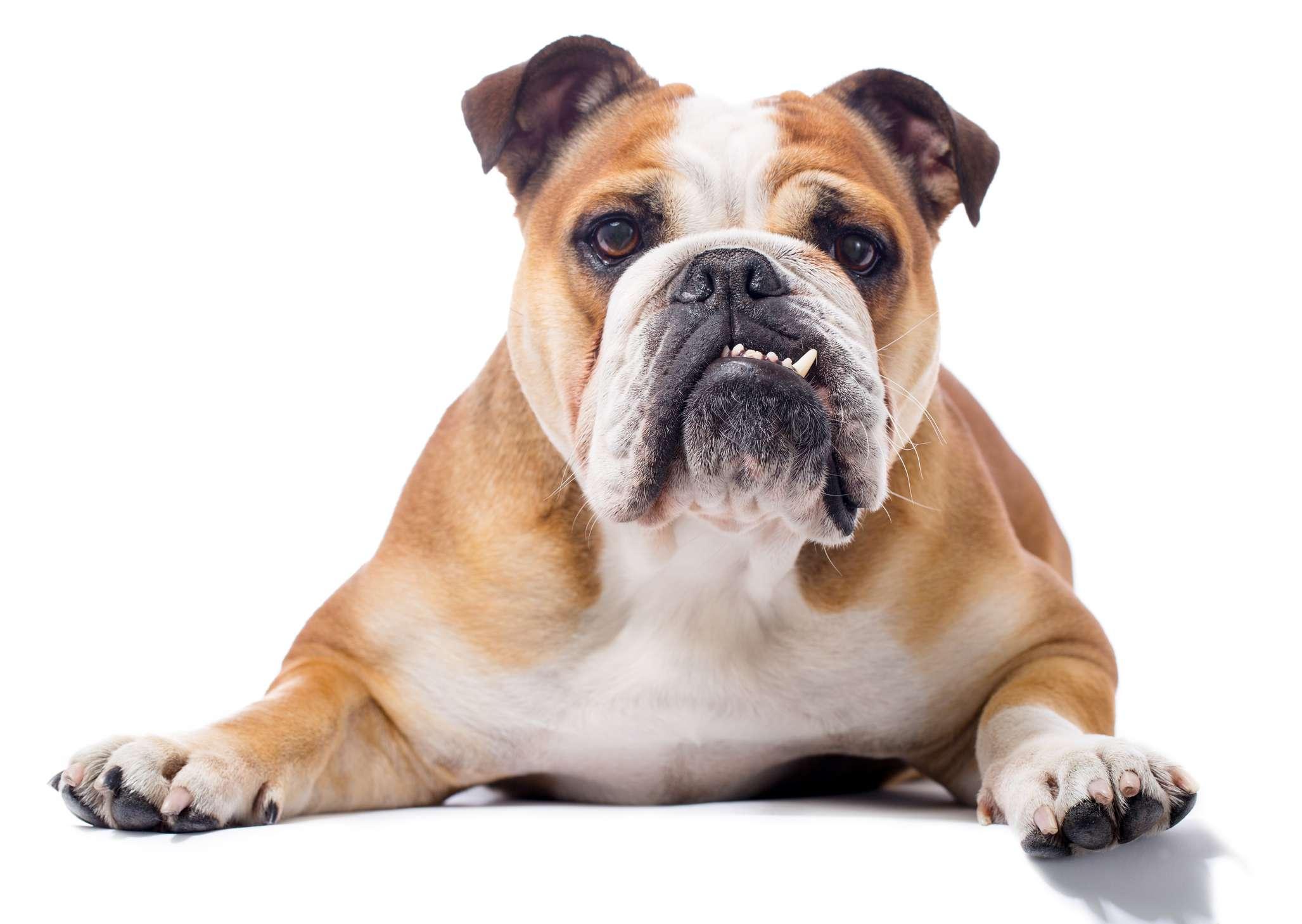 Bulldog inglés para adultos