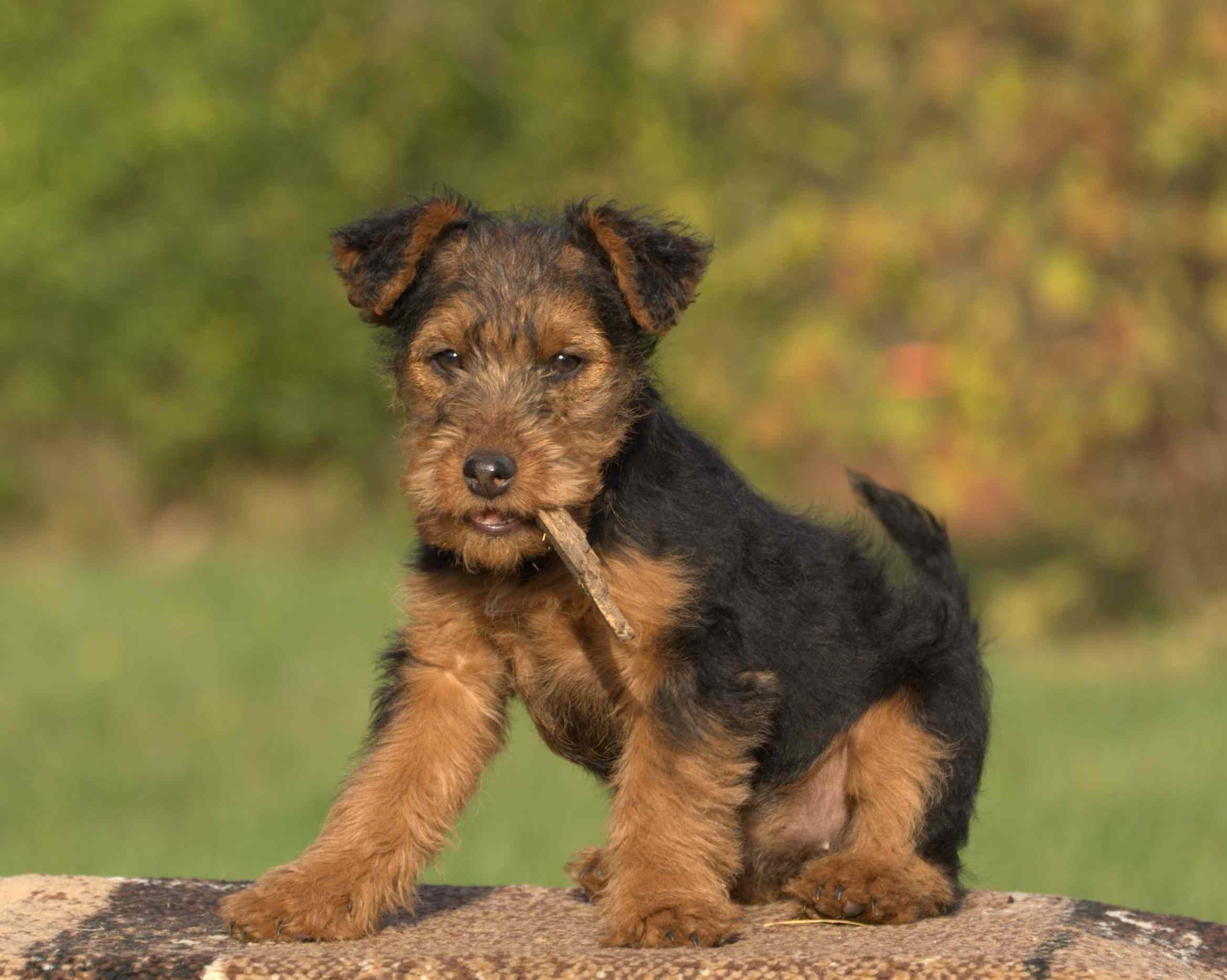 Puppy Welsh Terrier with chew