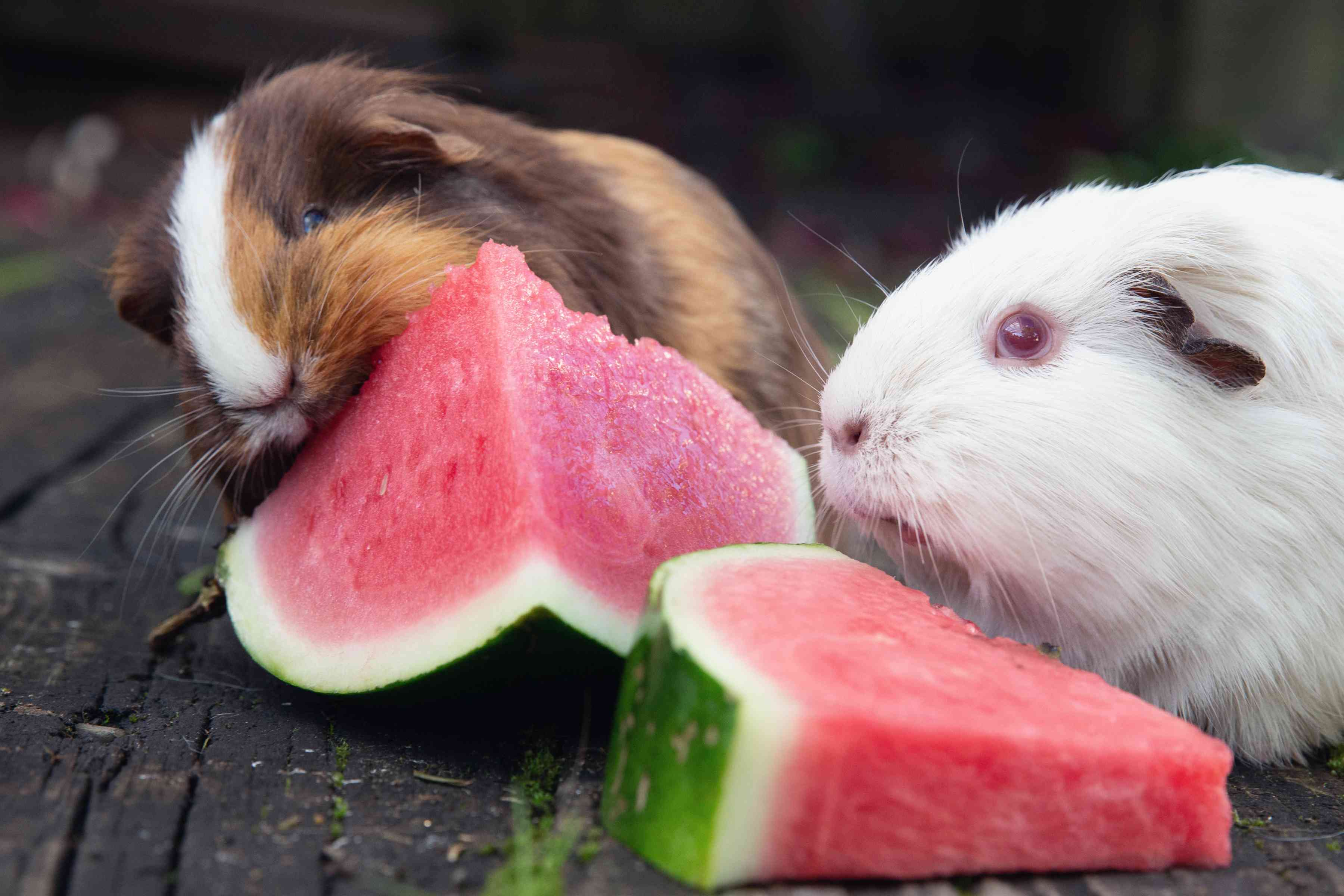 Brown and white guinea pigs eating fresh watermelon slices